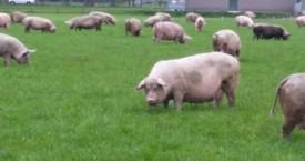 Antibioticagebruik bij varkens kan teruggedrongen worden